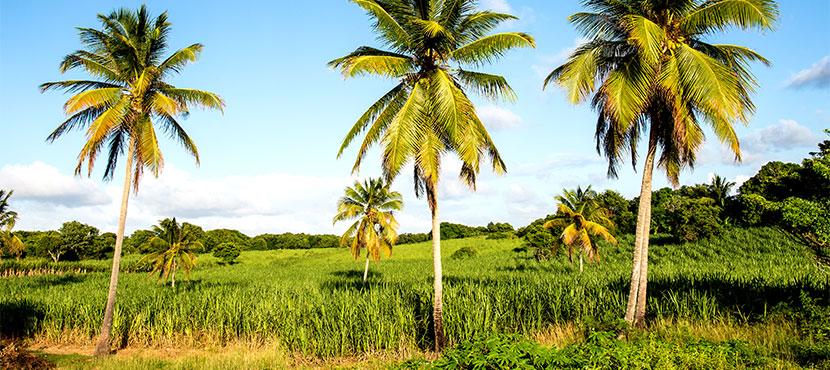 Champs de cannes à sucre en Guadeloupe
